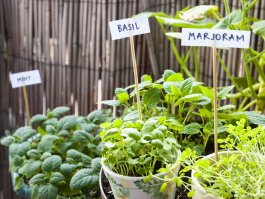 Antimicrobial Herbs You Can Grow at Home