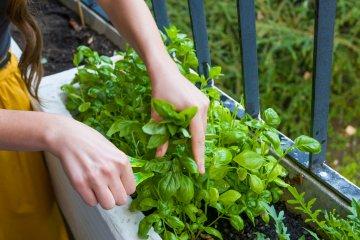 How to Store Fresh-Cut Basil Leaves