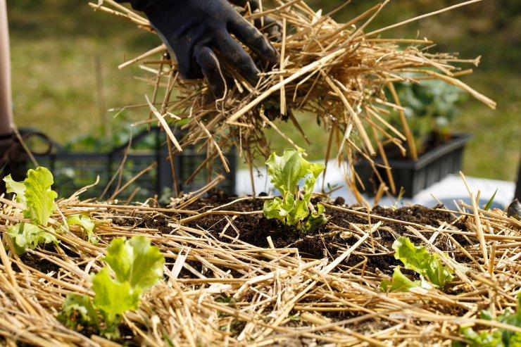 mulching a vegetable garden