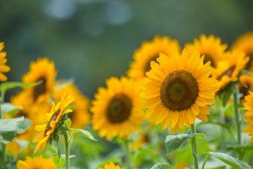 Sunflower Companion Plants for a Vegetable Garden
