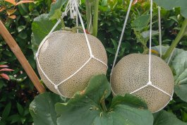 How to Start Growing Cantaloupe Vertically at Home