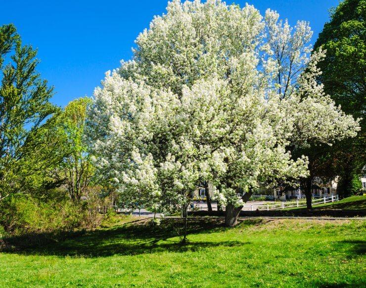 Mature Bradford Pear tree in full bloom