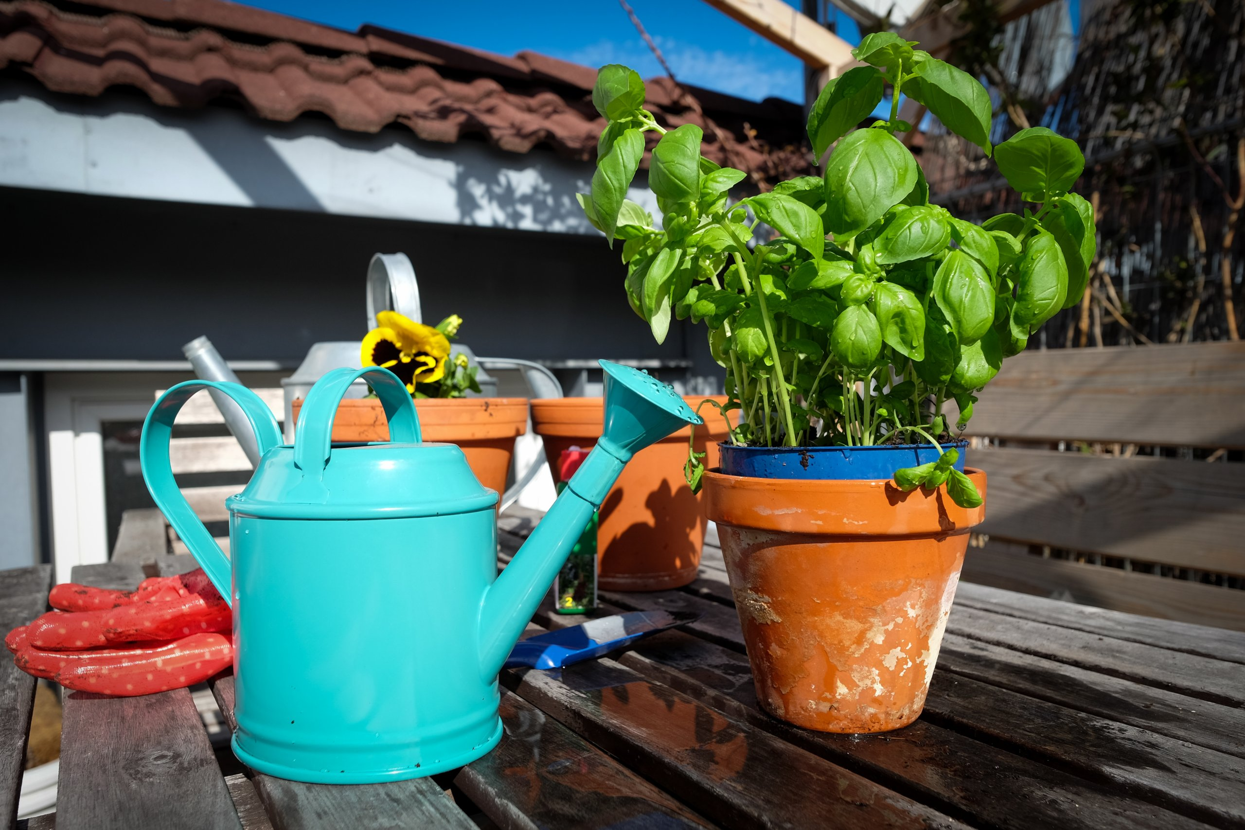 Photo of basil plants in terracotta pots and a watering can