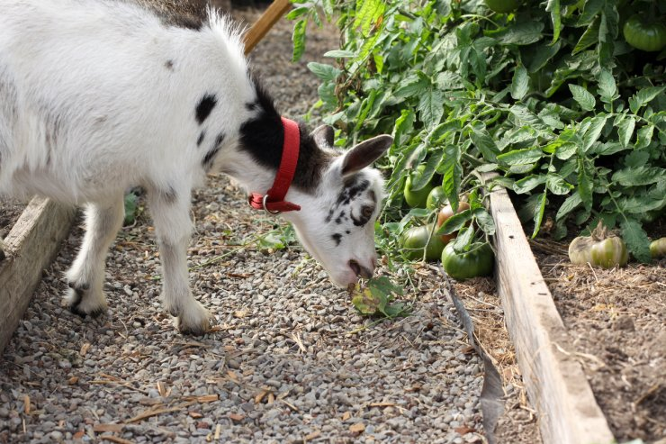 Goat nibbling tomato plant