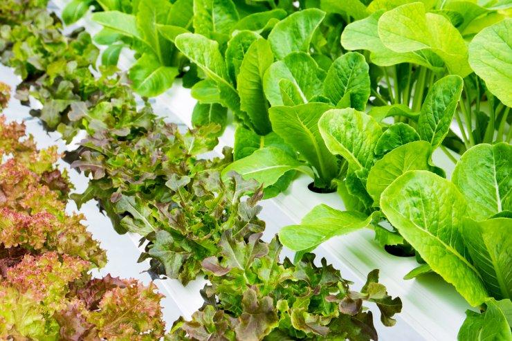 Vegetables in hydroponics farm