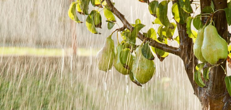 Pear tree in a summer rain.