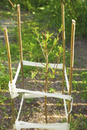 Peach seedling with stake supports.