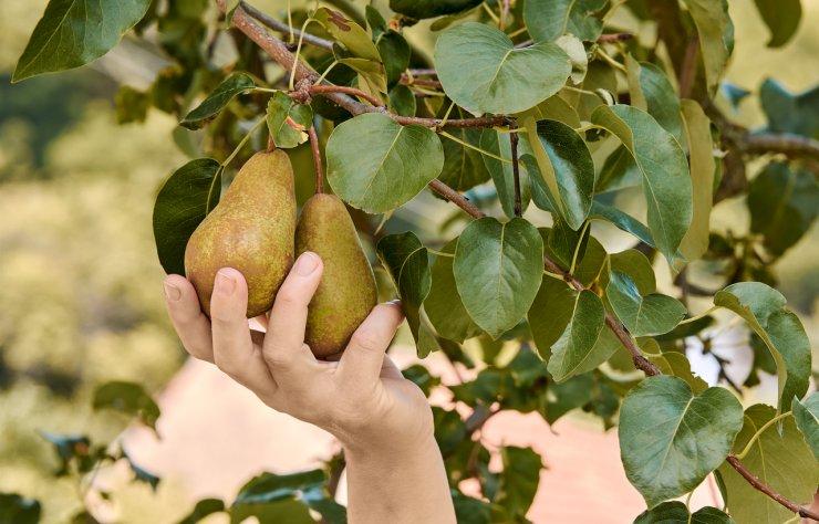 Harvesting pears.