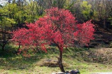 Red flowering peach tree