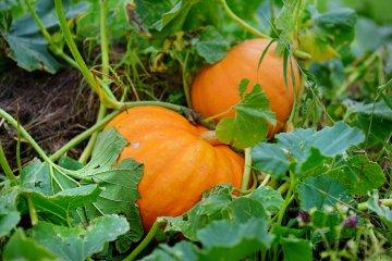 Pumpkins on vine in the garden