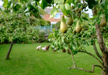 A small pear tree bearing fruit.