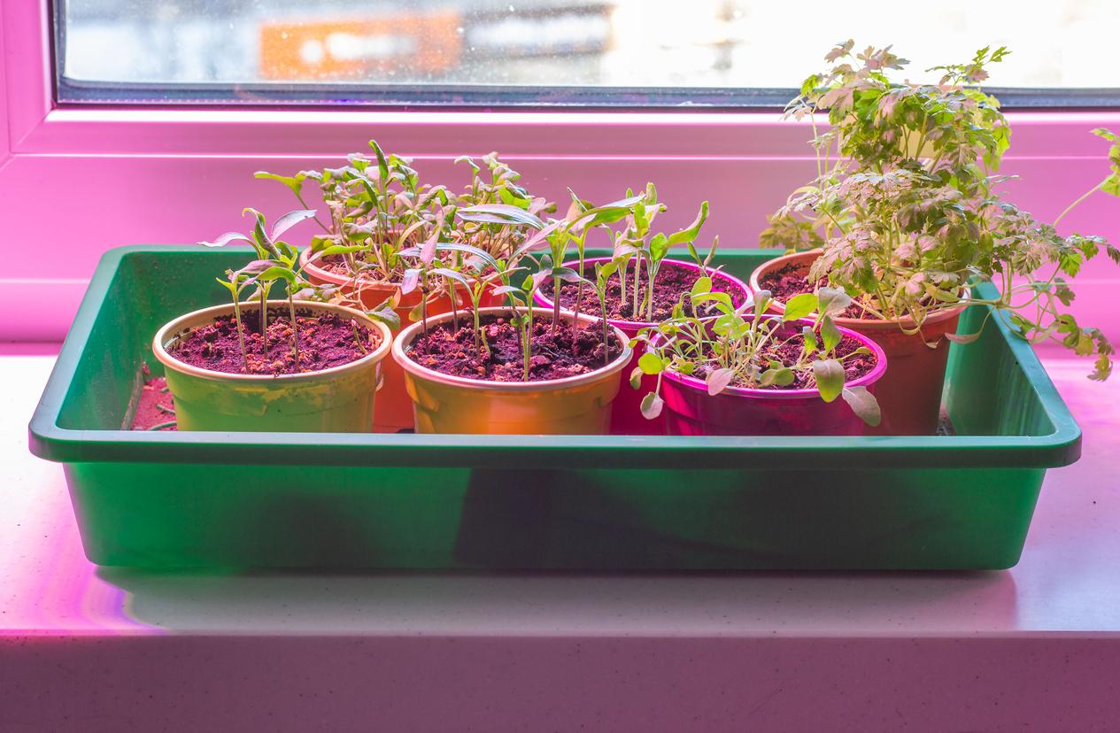 Seedlings under indoor garden lights.