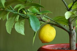 5 of the Best Container Fruit Trees to Grow Inside the Home