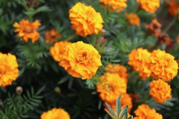10 Marigold Companion Plants in a Vegetable Garden