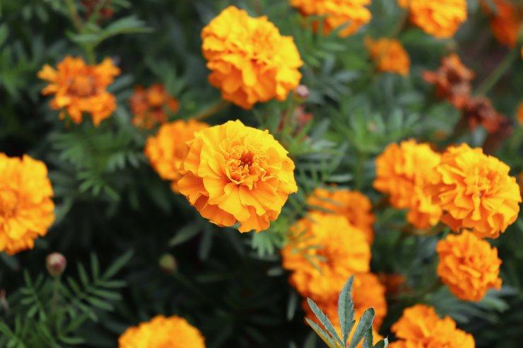 marigold companion plants