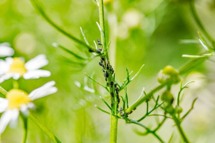 Ants and aphids on chamomile plant