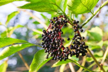 How to Start Growing Elderberries For Syrups, Wines, and Jellies