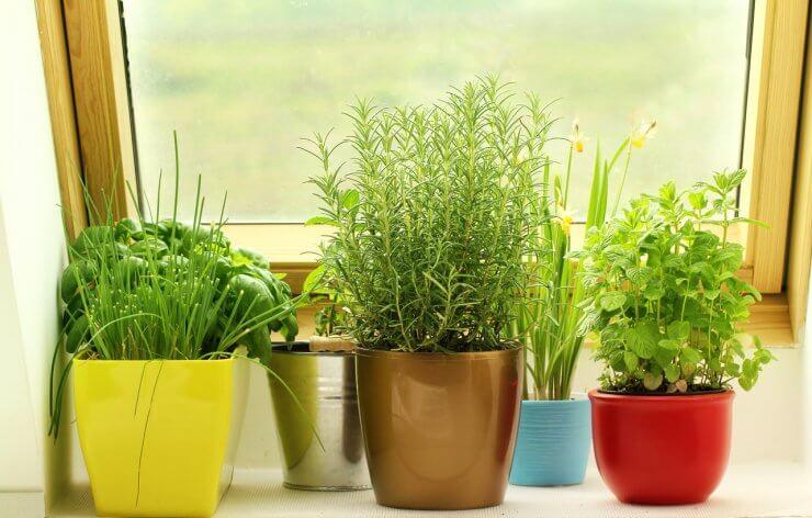 herbs growing on window