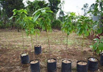 Young avocado trees.