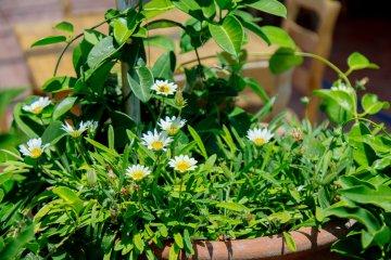 Green chamomile in a planter.
