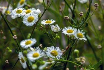 Roman Chamomile flowers.