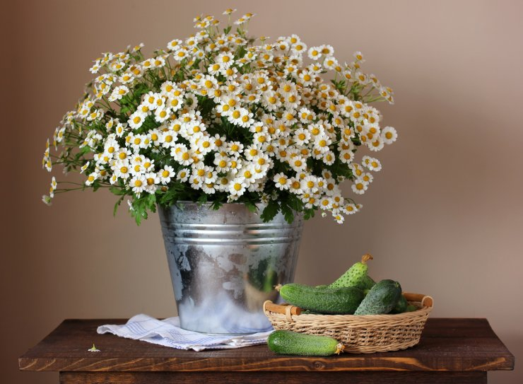 Chamomile and cucumbers make good companions in the garden.