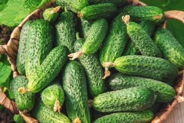 Muncher cucumbers