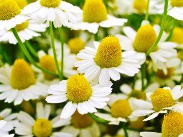 Beautiful chamomile flowers.