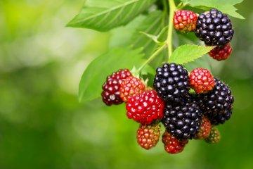 Blackberries on a bush.