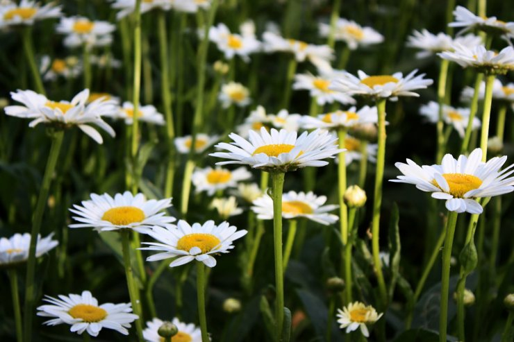 Chamomile catching some sunlight.