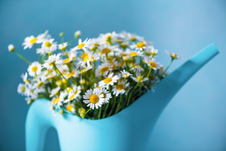 Chamomile in watering can.