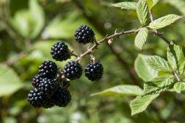 Thorny blackberry plant.