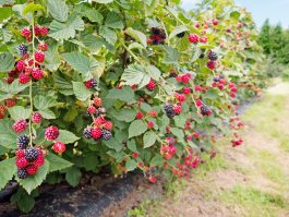 Blackberries in open land.