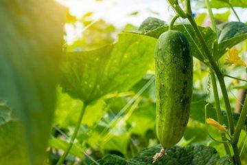A single cucumber in the garden.