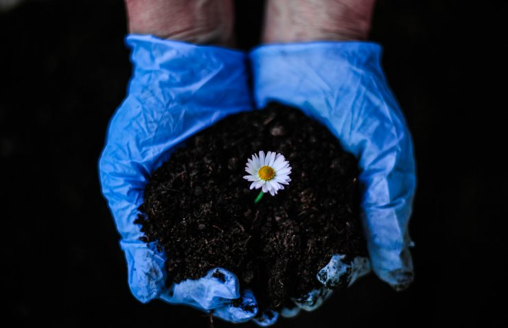Small chamomile flower in compost.