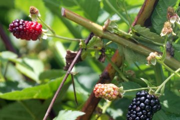 Apache blackberries