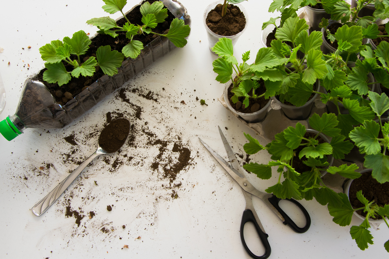 Rooting cuttings in plastic bottle