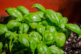 An Edible Plant that Deters Mosquitoes for Your Vegetable Garden
