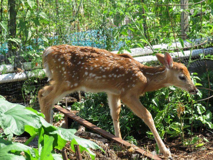 deer resistant vegetables