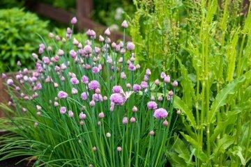 10 Beautiful Flowering Vegetables (and Herbs)