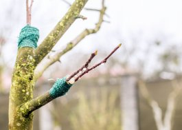 How to Grow Grafted Fruit Trees to Increase Variety in Your Garden