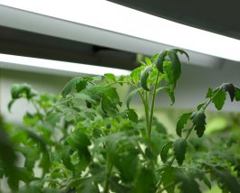 The Best Grow Lights for Tomatoes and Peppers