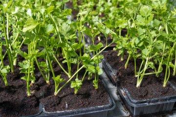 Parsley seedlings in trays