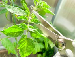 How to Prune Tomato Plants, Peppers, Cucumbers and More
