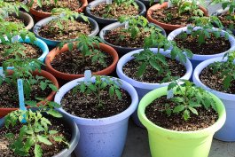 Starting Seeds Outdoors in Containers: A Pro & Con List