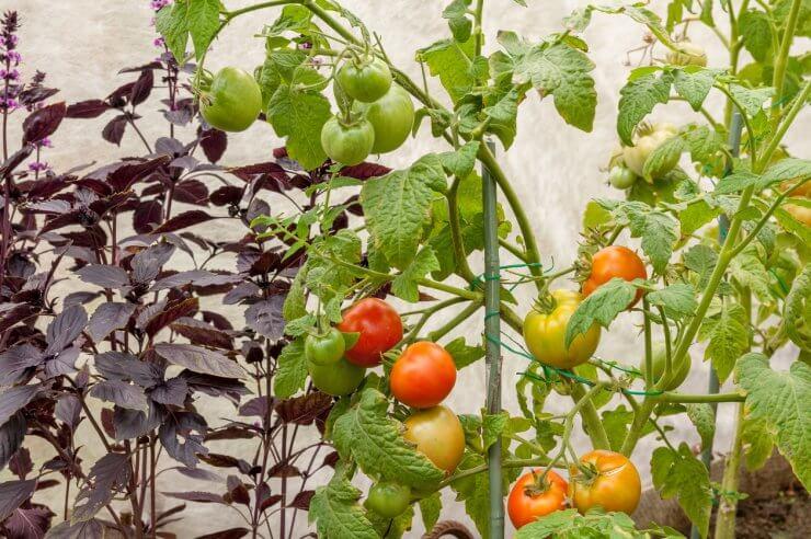 garden companion planting