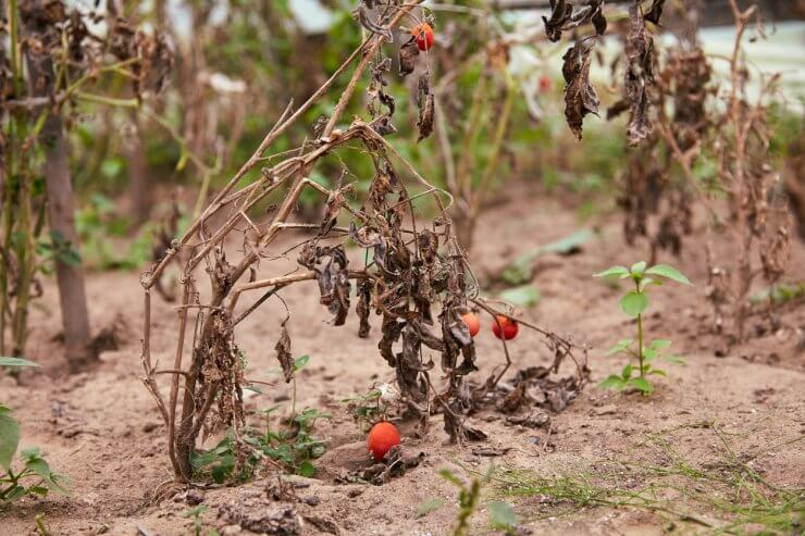 Withered tomato plant