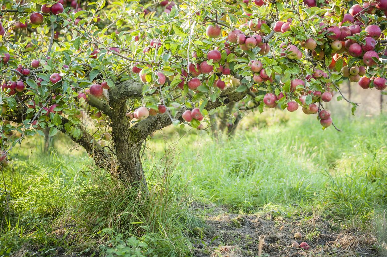 fertilizing fruit trees