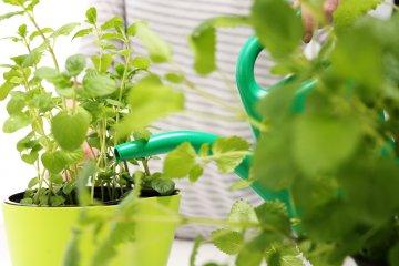 How Often Should You Water Herbs Indoors?
