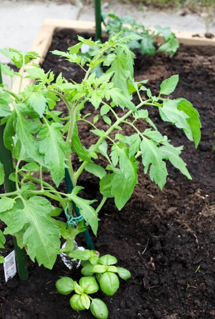 Tomatoes and basil planted together.